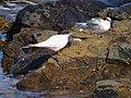 2016-08-17 Sterna dougallii, St Marys Island, Northumberland 10.jpg