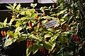 20171014 - Capsicum chinense Jacq. 'Dorset Naga Orange'.jpg