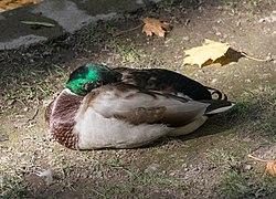 2017 Śpiąca kaczka krzyżówka 2.jpg