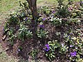 2018-03-11 15 03 46 Crocuses blooming along Tranquility Court in the Franklin Farm section of Oak Hill, Fairfax County, Virginia.jpg