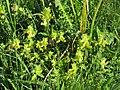 2018-05-13 (106) Rhinanthus alectorolophus (yellow rattle) at Bichlhäusl, Tiefgrabenrotte, Frankenfels, Austria.jpg
