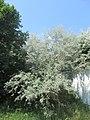 20180607Elaeagnus angustifolia1.jpg