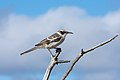 20180807-Galápagos mockingbird-4 at Genovesa (9575).jpg