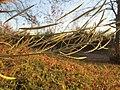 20181118Diplotaxis tenuifolia1.jpg