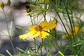 2019-07-24 Coreopsis-verticillata-flower.jpg
