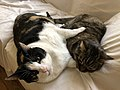 2019-12-05 03 58 12 A Tabby cat and a Calico cat cuddling on a couch in the Franklin Farm section of Oak Hill, Fairfax County, Virginia.jpg