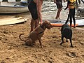 2019 Scotland Island Pittwater NSW Christmas Day pooch race 4.jpg