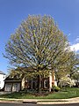 2020-04-11 15 55 37 Pin Oak blooming at Scotsmore Way and Caroline Court in the Chantilly Highlands section of Oak Hill, Fairfax County, Virginia.jpg