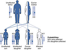 gonosomaler erbgang y-chromosome sex linked traits in Salisbury