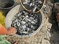 5798Isla Babatnin Malolos Bulacan Harvesting Fishes 23.jpg