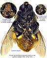 6-Horstiella armata Epicharis elegans male ventr BMOC 95-0422-029.jpg