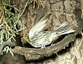 838 - GRACE'S WARBLER (7-4-2018) adult, timbercamp campground, tonto forest, gila co, az -01 (42320162605).jpg
