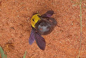 Pollinator decline - A dead carpenter bee