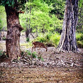 A Deer of Nagzira Forest!.jpg