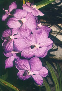 A and B Larsen orchids - Vanda coerulea 529-24