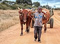 A boy leading the cattle.jpg