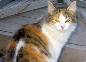Tortoiseshell cat - Long-haired calico