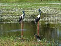 A pair of Jabirus, Yellow Water Billabong.jpg