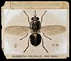 A tsetse fly (Glossina palpalis). Coloured drawing by A.J.E. Wellcome V0022551.jpg