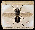 A tsetse fly (Glossina palpalis). Coloured drawing by A.J.E. Wellcome V0022551.jpg