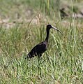 A watchful Glossy Ibis at edge of Seical ricefields, a rare visitor to Timor-Leste.jpg
