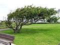A wind-swept tree - geograph.org.uk - 895101.jpg
