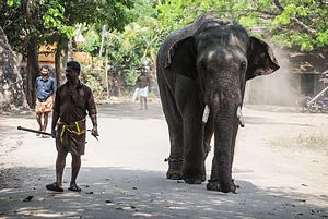 Mahout - A young Elephant and its Mahout, Kerala, India
