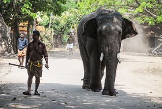 Mahout - A young Elephant and his Mahout, Kerala, India