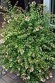 Abelia x grandiflora Kaleidoscope 2zz.jpg