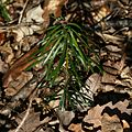 Abies grandis seedling - Flickr - S. Rae.jpg