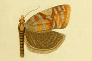 <i>Abrepagoge</i> Monotypic genus of tortrix moths
