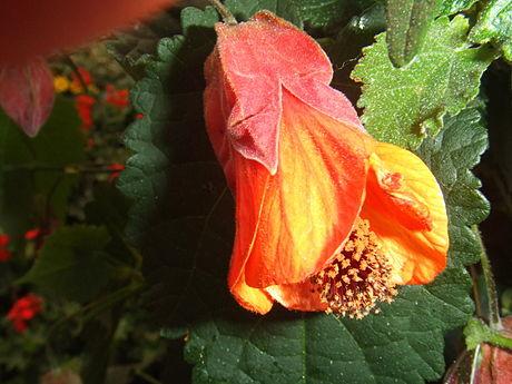 Abutilon vexillarium image