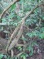 Acacia Caesia - ഇഞ്ച തണ്ട്.JPG