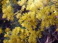 Acacia boormanii 02.jpg