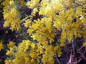 Description de l'image Acacia boormanii 02.jpg.