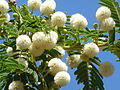 Acacia sieberiana, blomme, Pretoria, a.jpg