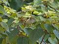 Acanthiza pusilla (34520658014).jpg