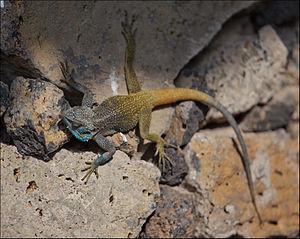 Wildlife of Rwanda - Acanthocercus atricollis on the shores of Lac Kivu in Rwanda.