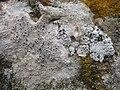 Acarospora nodulosa (Dufour) Hue & Diploschistes scruposus (Schreber) Norman 203935.jpg