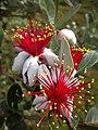 Acca sellowiana - panoramio (423).jpg