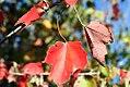 Acer rubrum Red Sunset 11zz.jpg