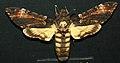 Acherontia atropos (death's head hawkmoth) (Europe) 1 (17071468700).jpg