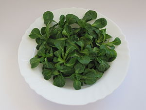Valerianella locusta - Corn salad is identifiable by its rounded leaf and deep green color