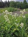 Aconogonon x fennicum Oulu, Finland 17.06.2013.jpg