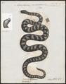 Acrochordus javanicus - 1700-1880 - Print - Iconographia Zoologica - Special Collections University of Amsterdam - UBA01 IZ11900001.tif
