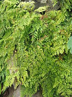 <i>Adiantum venustum</i> species of plant