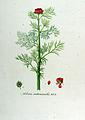 Adonis autumnalis — Flora Batava — Volume v12.jpg