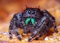 Adult Female Phidippus audax Jumping Spider.jpg