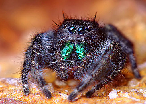 Adult Female Phidippus audax Jumping Spider