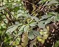Aesculus californica in Hackfalls Arboretum (3).jpg